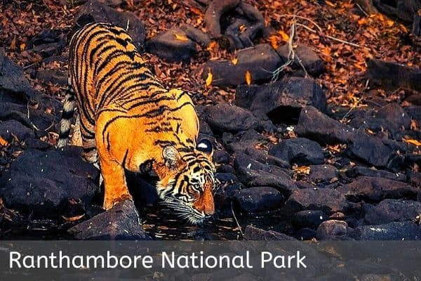 Tiger in Ranthambore National Park